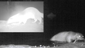 Küre Dağları'nda su samuru görüntülendi