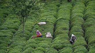 Çayda üretim artıyor
