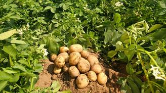 Patates fiyatı düşmeye başladı