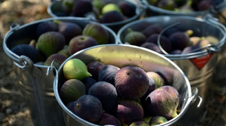 Siyah incirden 30 milyon dolar gelir