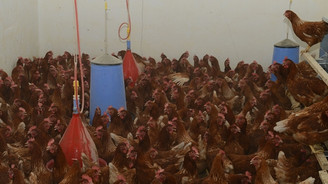 Özgür tavuklar daha verimli
