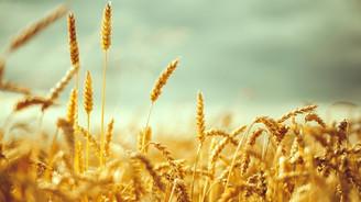 Buğdayda sadece üretim değil, verim rekoru da kırıldı