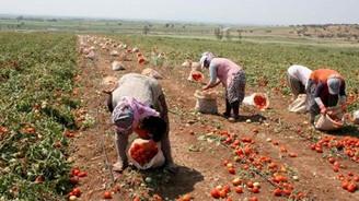 Karacabey Ovası'nda domates hasadı başladı