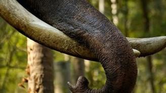 Çin'den fil dişi ithalatına yasak