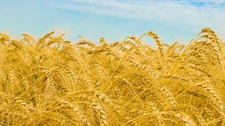 TMO, ihaleyle arpa ve buğday satacak