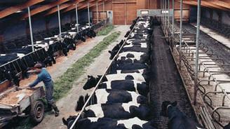 Sığır ithalatında gümrük vergisi sıfırlandı