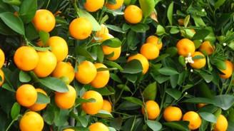 Rusya krizi mandalina bahçelerinde 'satışları' durdurdu