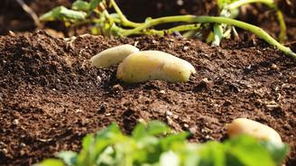 Patates fiyatları hasat erteletti