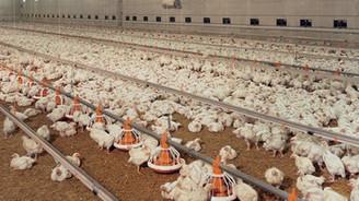 Tavuk eti üretiminde yüzde 11 artış