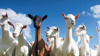 Koyun ve keçilere elektronik kimlik geliyor