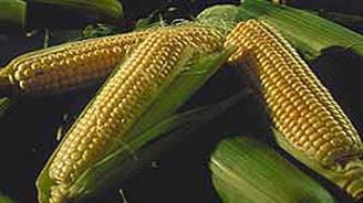"""""""Bu yıl mısır üretimi 5 milyon ton olacak"""""""