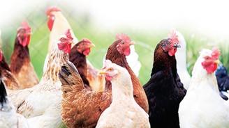 Türkiye'nin tavuk eti üretimi arttı