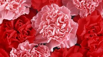 Bir milyardan fazla kesme çiçek örtü altında üretildi