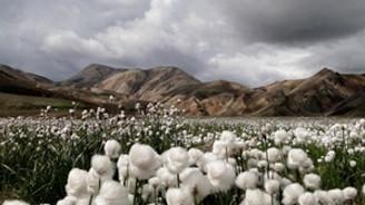 Ege'nin pamuk ekim alanları yüzde 17.7 daraldı