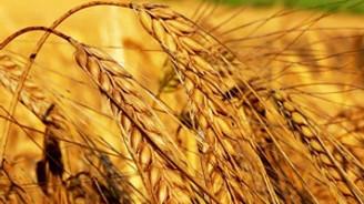 Buğday bitkisel ihracatın yarısını oluşturdu