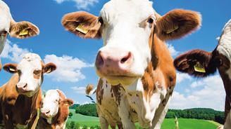 Canlı hayvan ihraç edilen ülke sayısı 26'yı geçti