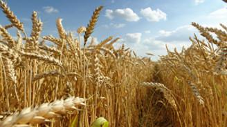 Buğday üretiminde verimlilik arttı