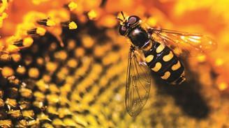 Arılar öldü balda %30 kayıp bekleniyor