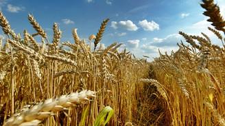 Buğdayda rekolte tahmini belirlendi