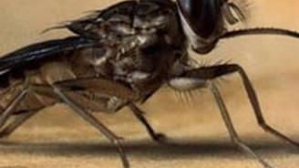 Afrika'ya gidiyorsanız çeçe sineğinden korunun