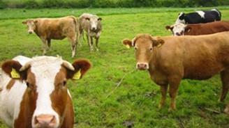 Organik hayvancılık destekleri belli oldu