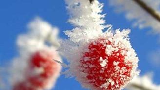 Tarım alanlarında don zararı yaşandı