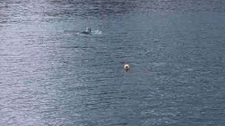 Marmara Denizi'nde Akdeniz foku görüldü