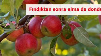 Fındıktan sonra elma da dondu