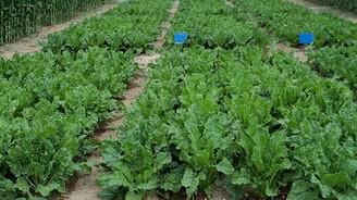 Sebze üretim alanlarına 70 lira ödeme yapılacak