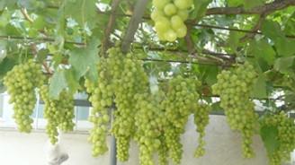 Örtü altı üzümün fiyatı üreticiyi sevindiriyor