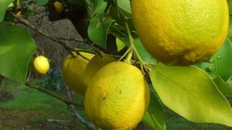 Arjantin düştü, limon uçtu