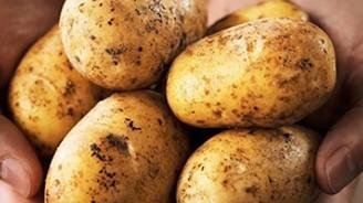 Kuraklık patates üreticisini etkilemedi