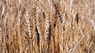 Rusya tahıl ihracatını revize edebilir