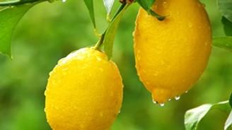Fiyatı düşen limon 'yatağa' girdi