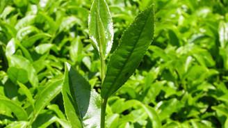 Çaykur, 194 bin ton çay aldı