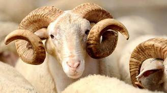 Kurbanlık hayvan sıkıntısı yaşanmayacak
