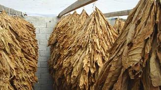 Tütün üreticisinde büyük endişe