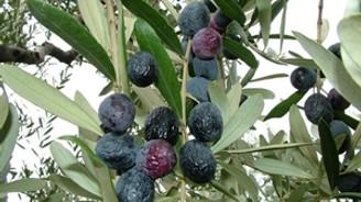 Akhisar 36 ülkeye zeytin ihracatı yapıyor