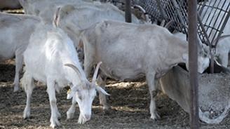 Üniversiteli keçiler yok satıyor