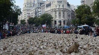 Madrid'de 2 bin koyun şehre indi