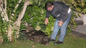 İstanbul'un göbeğine domuz indi