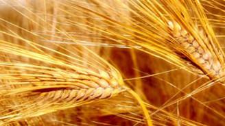 Rusya, tahıl ihracatını durdurdu
