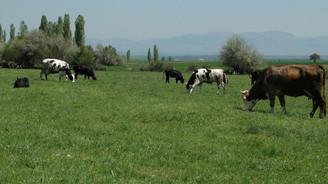 Kombine sığırcılık yatırımına 7.5 milyon lira faizsiz kredi