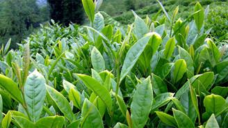 ÇAYKUR, organik yaş çay destekleme bedellerini ödedi