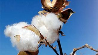 Çin bu kez de pamuk piyasasını karıştırdı
