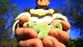 Datça'da mevsimin ilk bademleri toplanıyor
