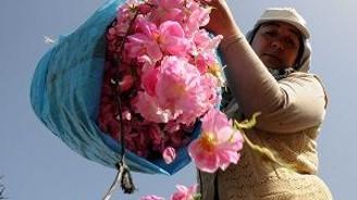 Üretici, Gül çiçeğinden umutlu!