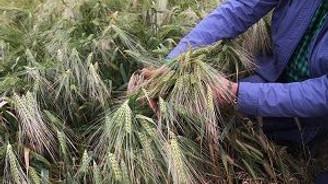 Buğday ve arpada rekolte artışı beklentisi