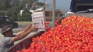 Seralarda kalan domatesin kasası 1,5 lira