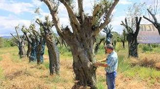300 yıllık zeytin ağaçları satılıyor